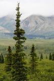 Árvore Spruce Fotos de Stock Royalty Free