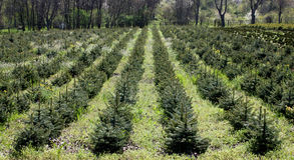 Árvore Spruce azul. Imagens de Stock