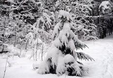 Árvore Spruce coberta com a neve imagens de stock