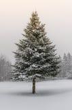 Árvore Spruce na tempestade da neve do inverno com luz do sol Imagens de Stock Royalty Free