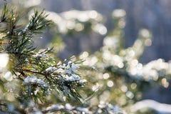 Árvore Spruce no inverno com boke abstrato do borrão na luz solar Imagem de Stock