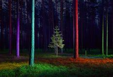 Árvore spruce pequena na floresta iluminada Imagem de Stock