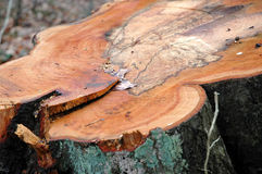 Árvore-stump Imagens de Stock