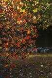 Árvore sueco da baga da cinza, foto do close up Bagas suculentas vermelhas maduras no parque do outono Berrie de Rowan Sorbus da  imagem de stock