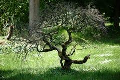 Árvore sulcado dos bonsais Imagem de Stock Royalty Free