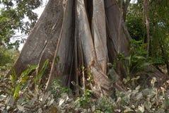 Árvore Sumaúma fotografia de stock royalty free