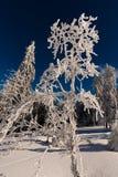 Árvore surpreendente da neve Foto de Stock