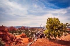 Árvore surpreendente do zimbro no parque estadual da bacia de Kodachrome imagens de stock royalty free