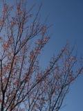 A árvore tem as folhas vermelhas em um fundo claro do céu azul Para o fundo natural imagens de stock