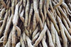 A árvore tem uma grande raiz de madeira Foto de Stock Royalty Free