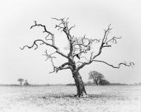 Árvore torcida Imagens de Stock
