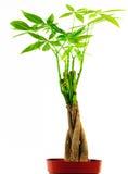Árvore trançada do dinheiro Fotografia de Stock