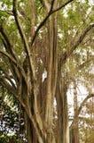 Árvore tropical Fotografia de Stock Royalty Free