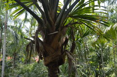 Árvore tropical Imagem de Stock