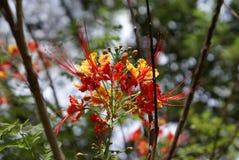 Árvore tropical da flor de Clavellina foto de stock royalty free