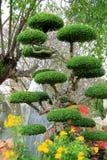 Árvore tropical exótica aparada sob a forma de uma bola Foto de Stock