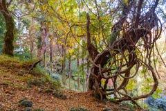 Árvore tropical torcida fotos de stock