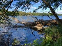 a árvore varrida pela tempestade encontra-se na costa de um lago fotografia de stock