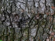 A árvore velha Foto de Stock