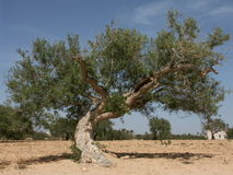Árvore velha imagem de stock royalty free