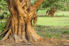 Árvore velha fotos de stock royalty free