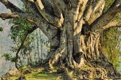 Árvore velha Foto de Stock Royalty Free