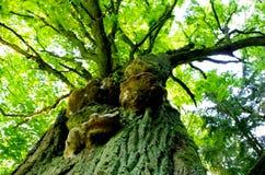 Árvore velha Imagens de Stock Royalty Free