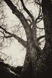 Árvore velha assombrada Fotos de Stock Royalty Free
