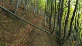 A árvore velha caiu no trajeto Autumn Deciduous Forest Beech Alley video estoque