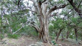 Árvore velha com membros de roda imagem de stock