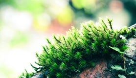 Árvore velha com musgo Imagem de Stock