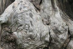 Árvore velha com nó grande Imagens de Stock Royalty Free