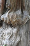 Árvore velha com nó grande Fotografia de Stock Royalty Free