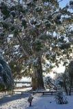 Árvore velha do eucalipto Imagens de Stock