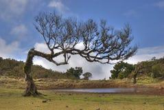 Árvore velha do laurus em madeira foto de stock