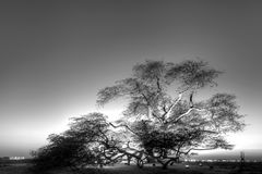 Árvore velha do mesquite, Barém, HDR preto e branco Imagem de Stock Royalty Free