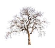 Árvore velha e inoperante Imagem de Stock Royalty Free