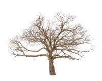 Árvore velha e inoperante Fotos de Stock Royalty Free