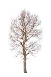 Árvore velha e inoperante Imagens de Stock