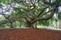 Árvore velha em jardins botânicos reais, Peradeniya, Sri Lanka fotos de stock royalty free