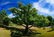 Árvore velha em um dia de verão Imagem de Stock