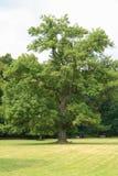 Árvore velha em um parque Imagens de Stock