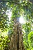 Árvore velha, floresta úmida subtropical, parque nacional de Lamington, Austrália Fotos de Stock Royalty Free