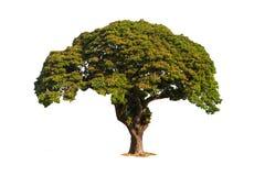 Árvore velha isolada com a flor vermelha no fundo branco Fotos de Stock Royalty Free