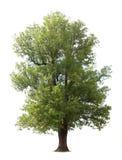 Árvore velha isolada enorme Fotografia de Stock