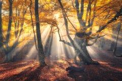 A árvore velha mágica com sol irradia na manhã Fotografia de Stock