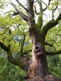 Árvore velha majestosa com musgo Fotografia de Stock