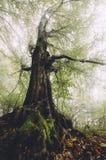 Árvore velha na floresta misteriosa com névoa Imagem de Stock Royalty Free