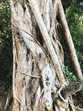 Árvore velha na praia selvagem em Goa, Índia Fotos de Stock Royalty Free