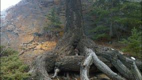 Árvore velha no montanhês, parque nacional de Banff, Alberta, Canadá Foto de Stock